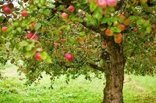 SQF, transformation des pommes