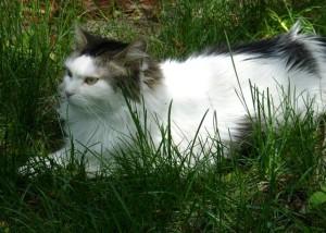 Le chat peut être aussi source de contamination